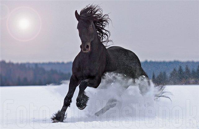 Фризская лошадь 1639595