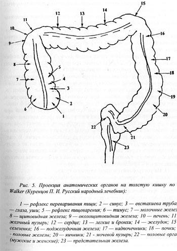 Проецирование на толстую кишку анатомических органов
