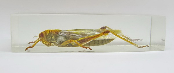 Насекомые №81 Саранча цитрусовая (Chondracris rosea)