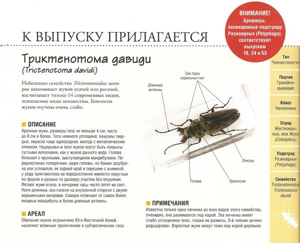 Насекомые №82 Триктенотома давиди (Trictenotoma davidi)