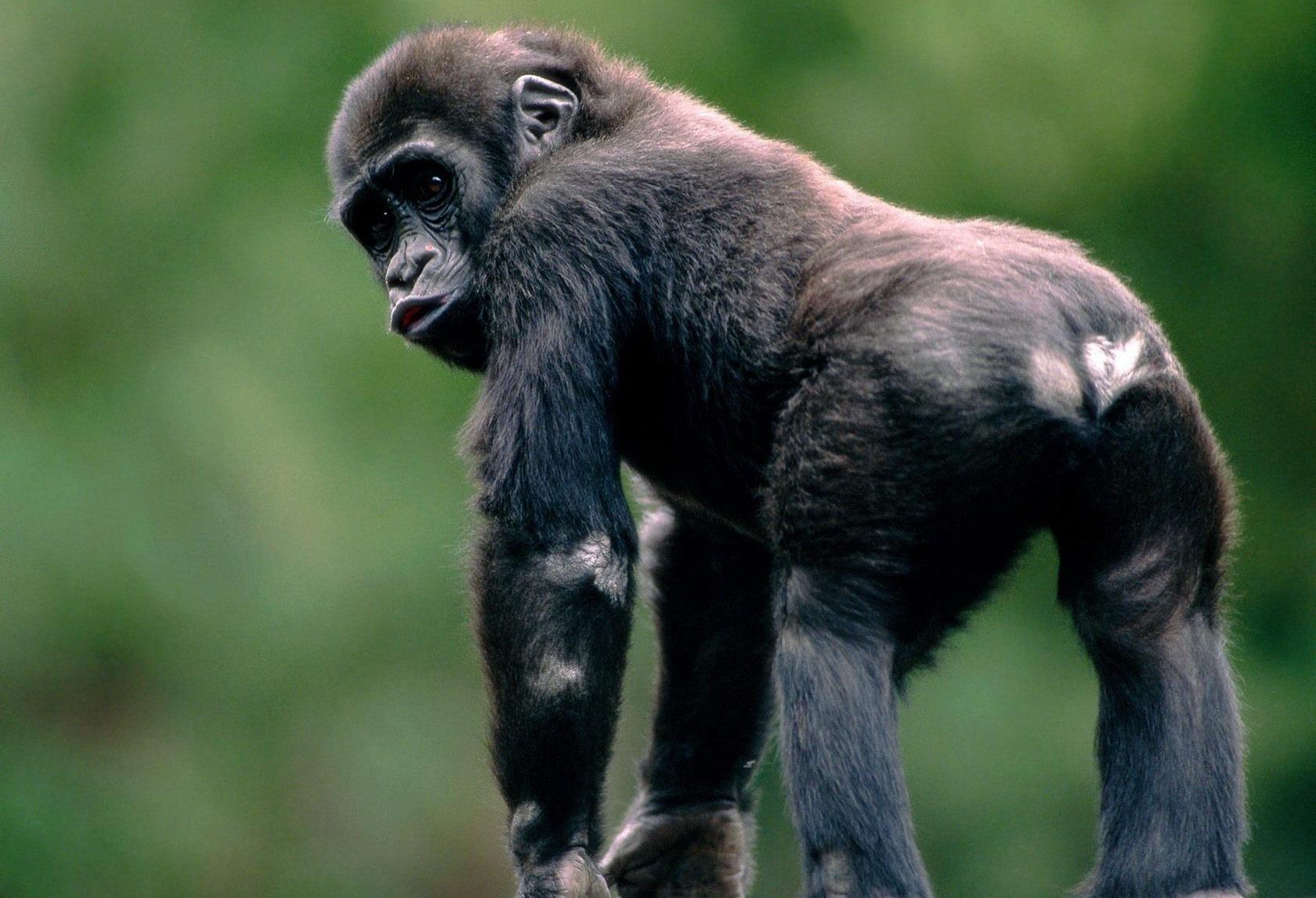 Жопа орангутанга