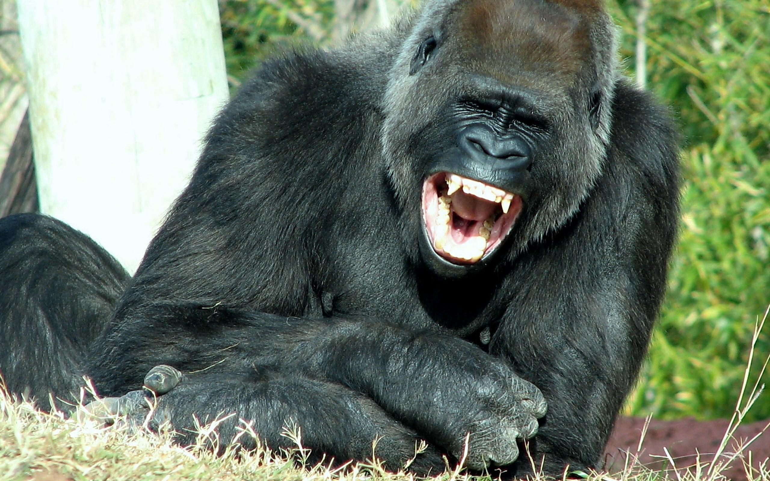 Размер члена у горилы 11 фотография