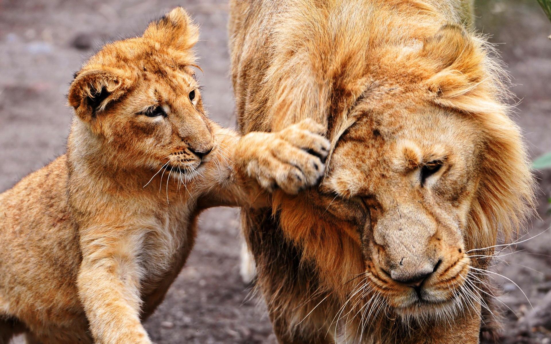 картинки для рабочего стола львы: