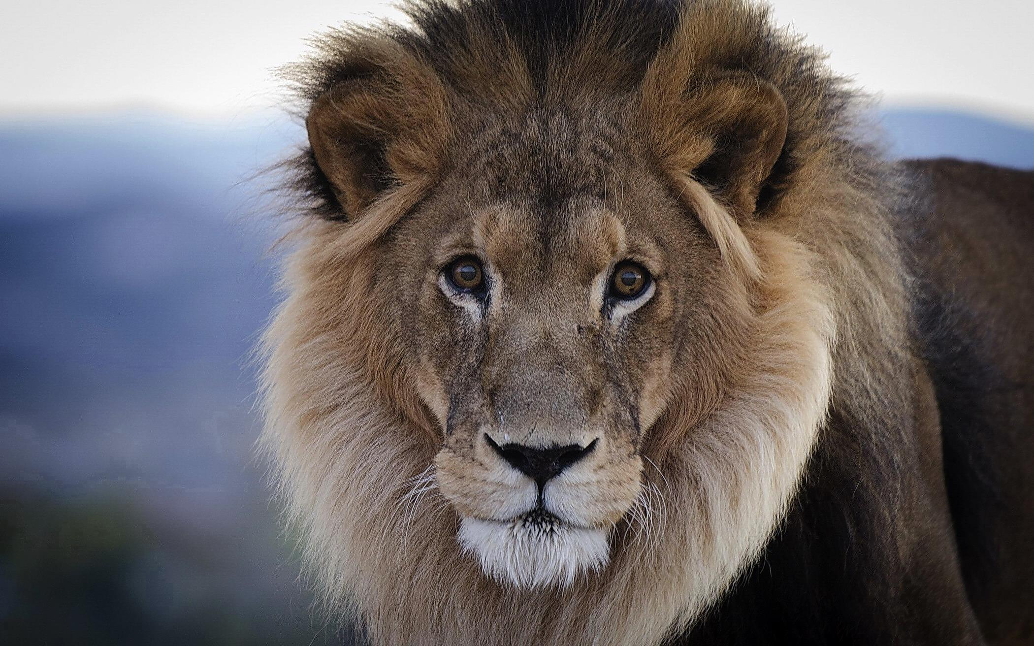 Обои на рабочий стол царь зверь лев