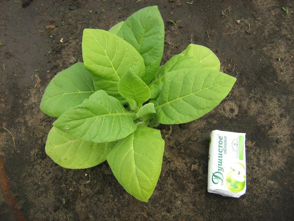 Книга выращивание табака скачать