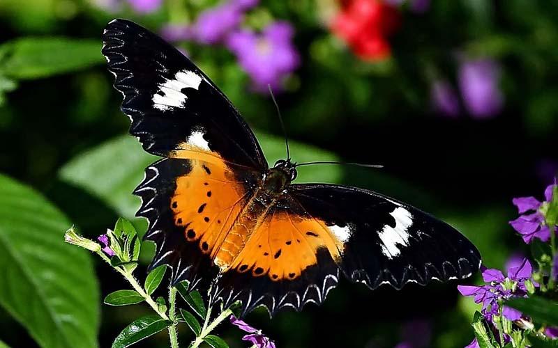 виды бабочек в россии  Бабочки