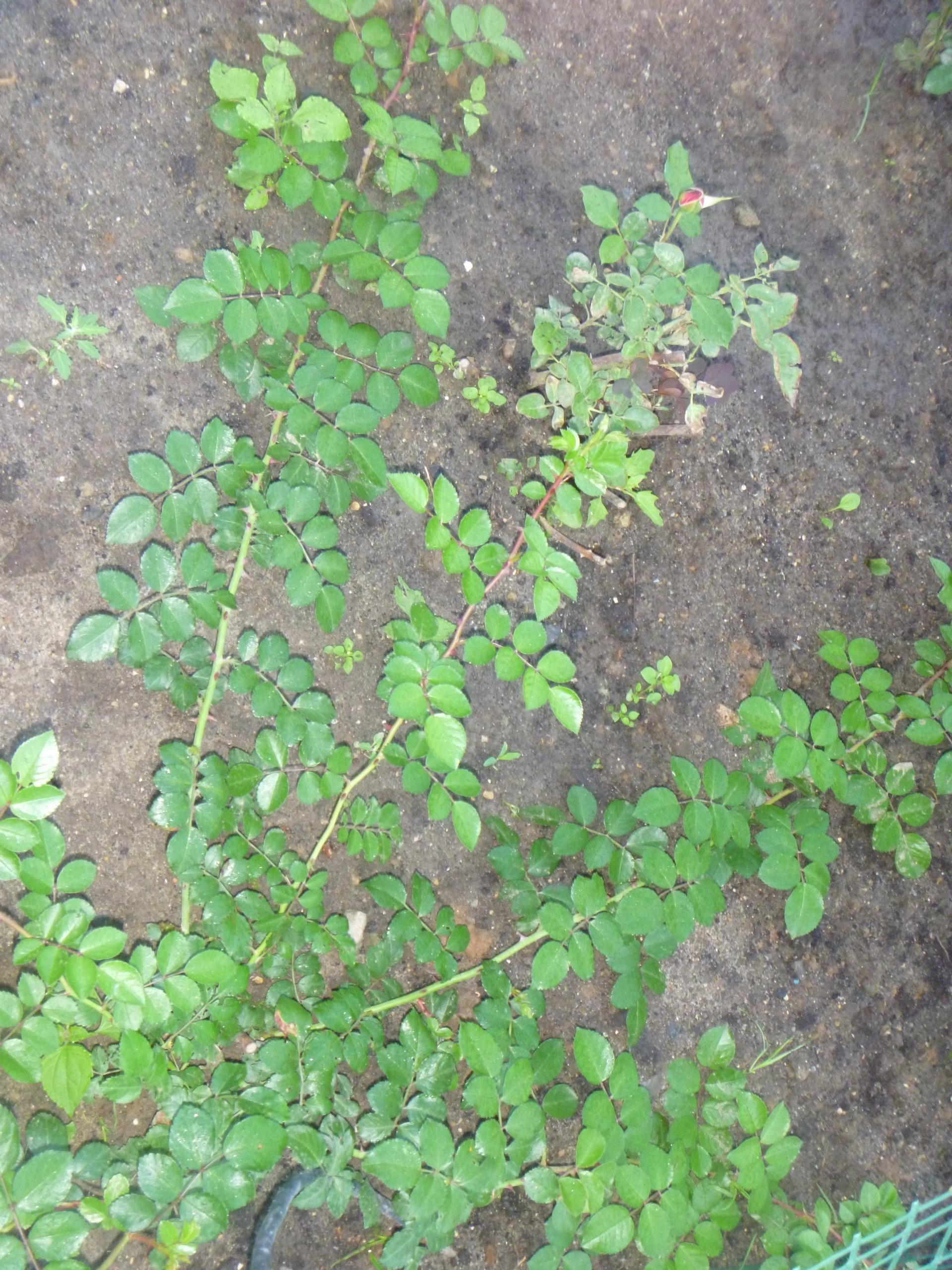 Пересадка плетистой розы осенью 2