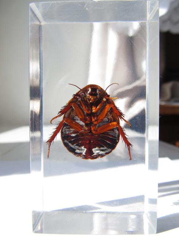 Насекомые №22 Таракан-Черепашка (Polyphaga sp.) фото, обсуждение