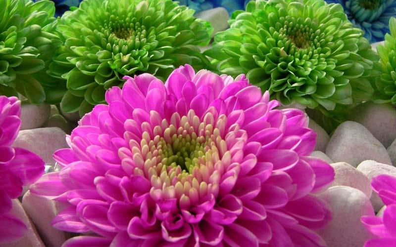 Цветы герберы их выращивание и фото
