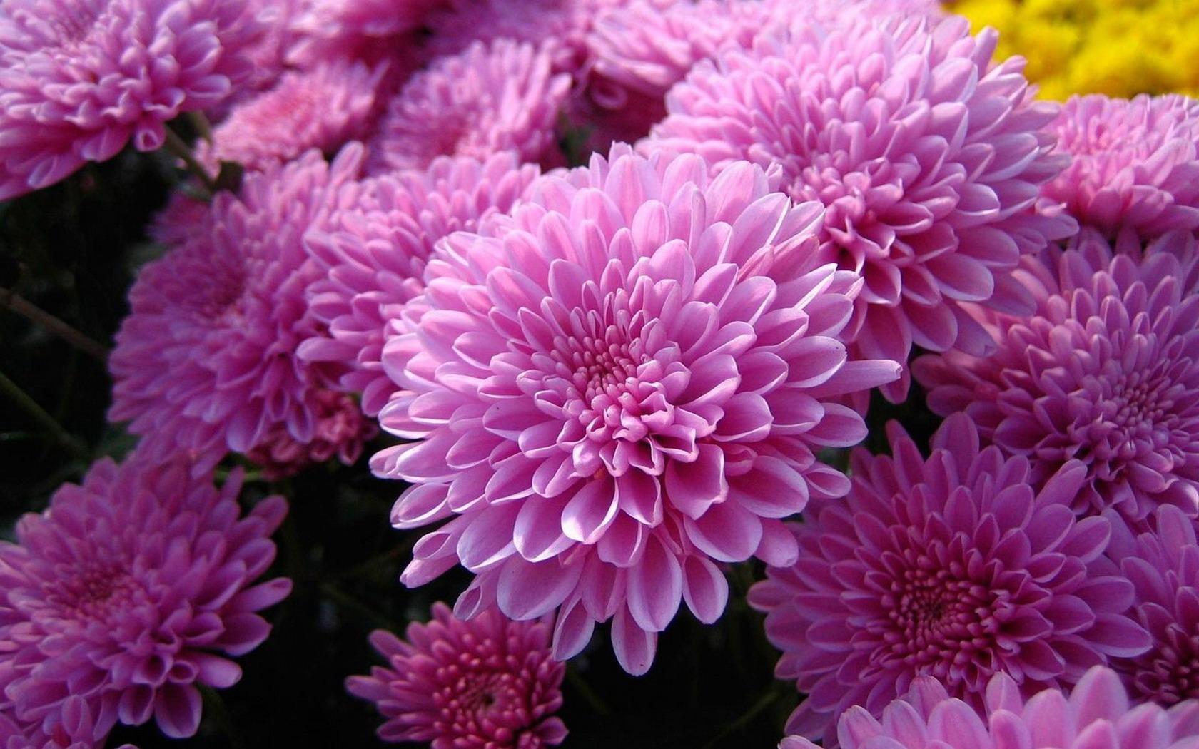 Картинки хризантемы цветы