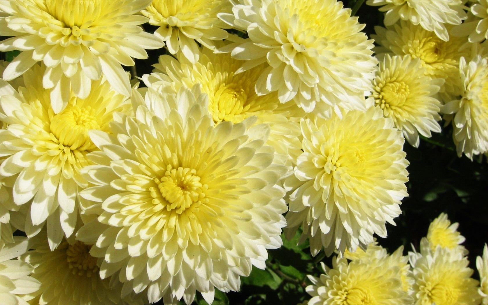 обои хризантемы