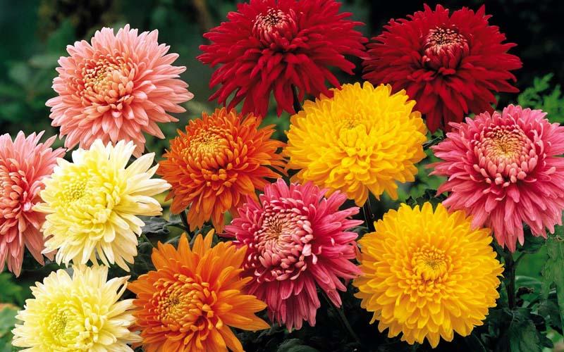 Садовые цветы фото с   floretsru