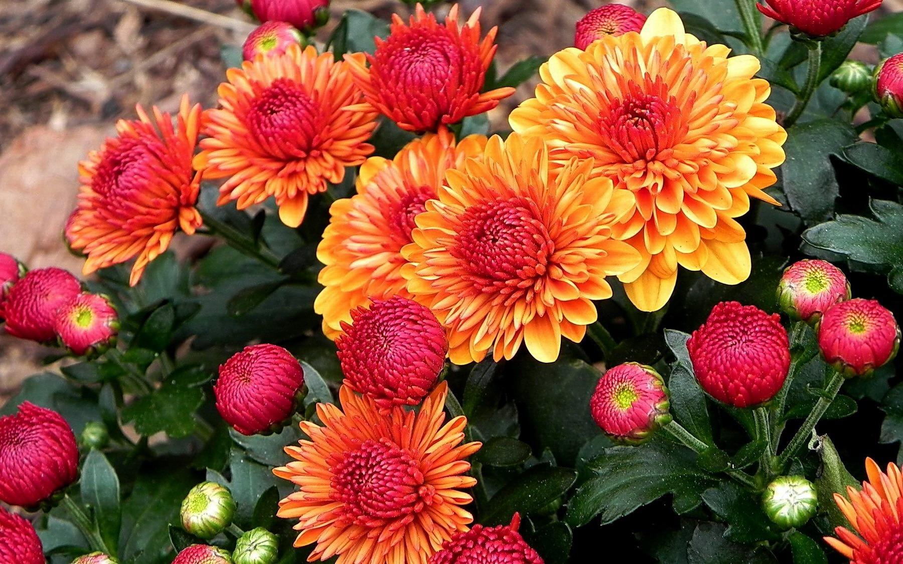 комнатный цветок любви спатифиллум фото