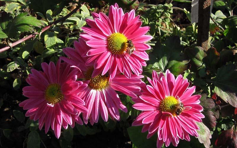 Цветы Фото Хризантемы Обои рабочий стол