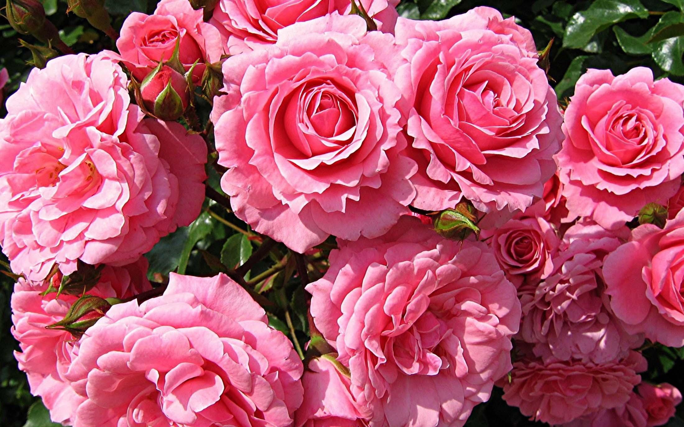 Роза дамасская фотографии 5