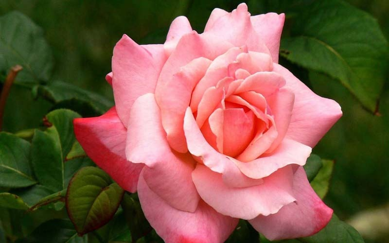 Цветы Розы Фото Обои рабочий стол: fon1.ru/load/64-26-2