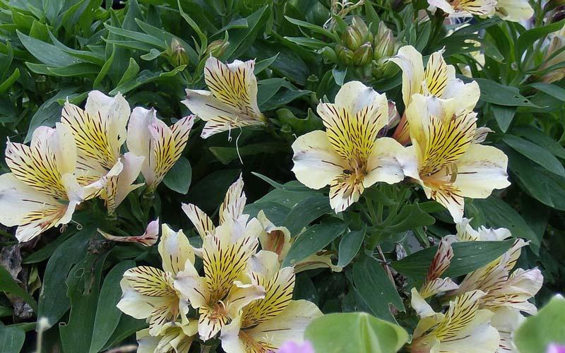 Цветы альстрёмерия перуанские лилии
