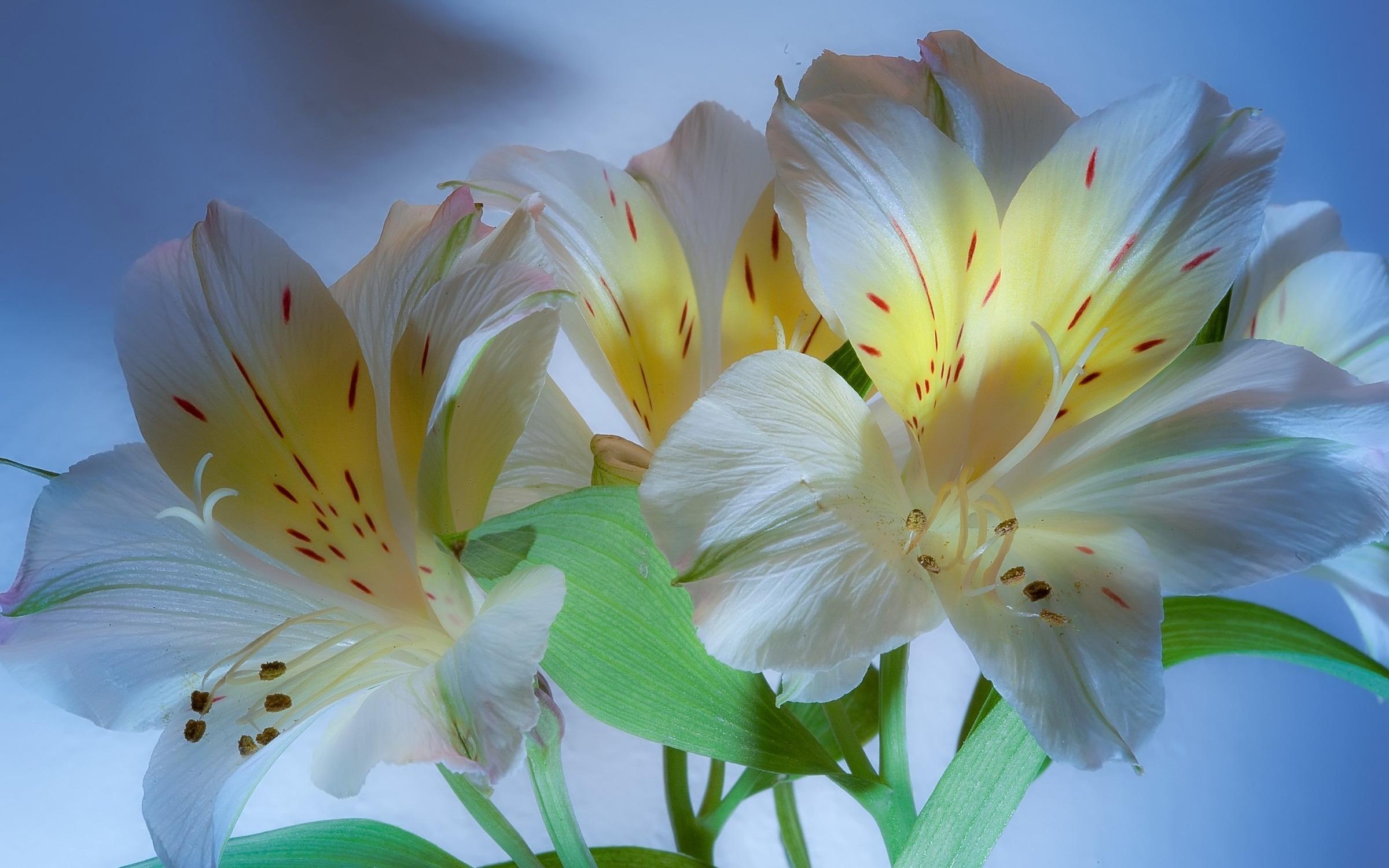 Гербера  уход в домашних условиях советы и фото цветков