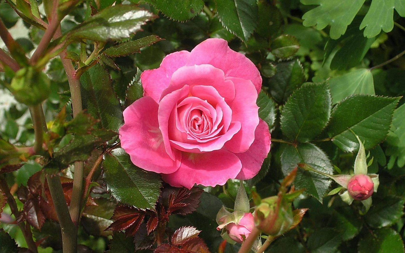 Обои рабочий стол розы