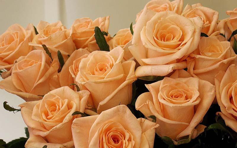 Цветы Розы Фото Обои рабочий стол