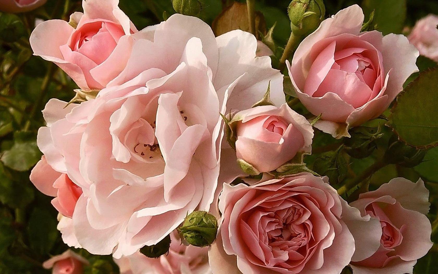 Обои на рабочий стол. розы