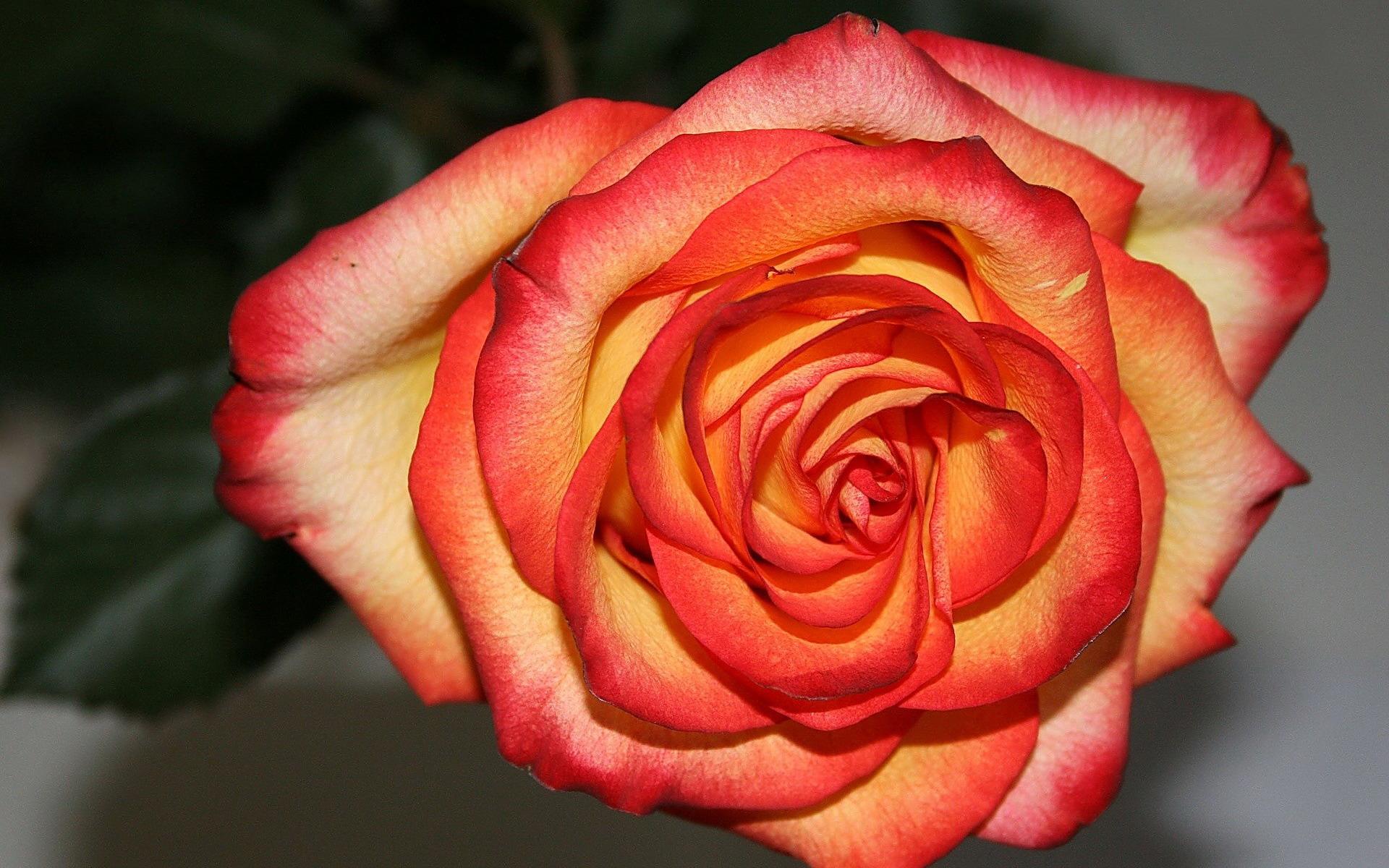 Букеты цветов розы фото картинки  Фигура девочки из