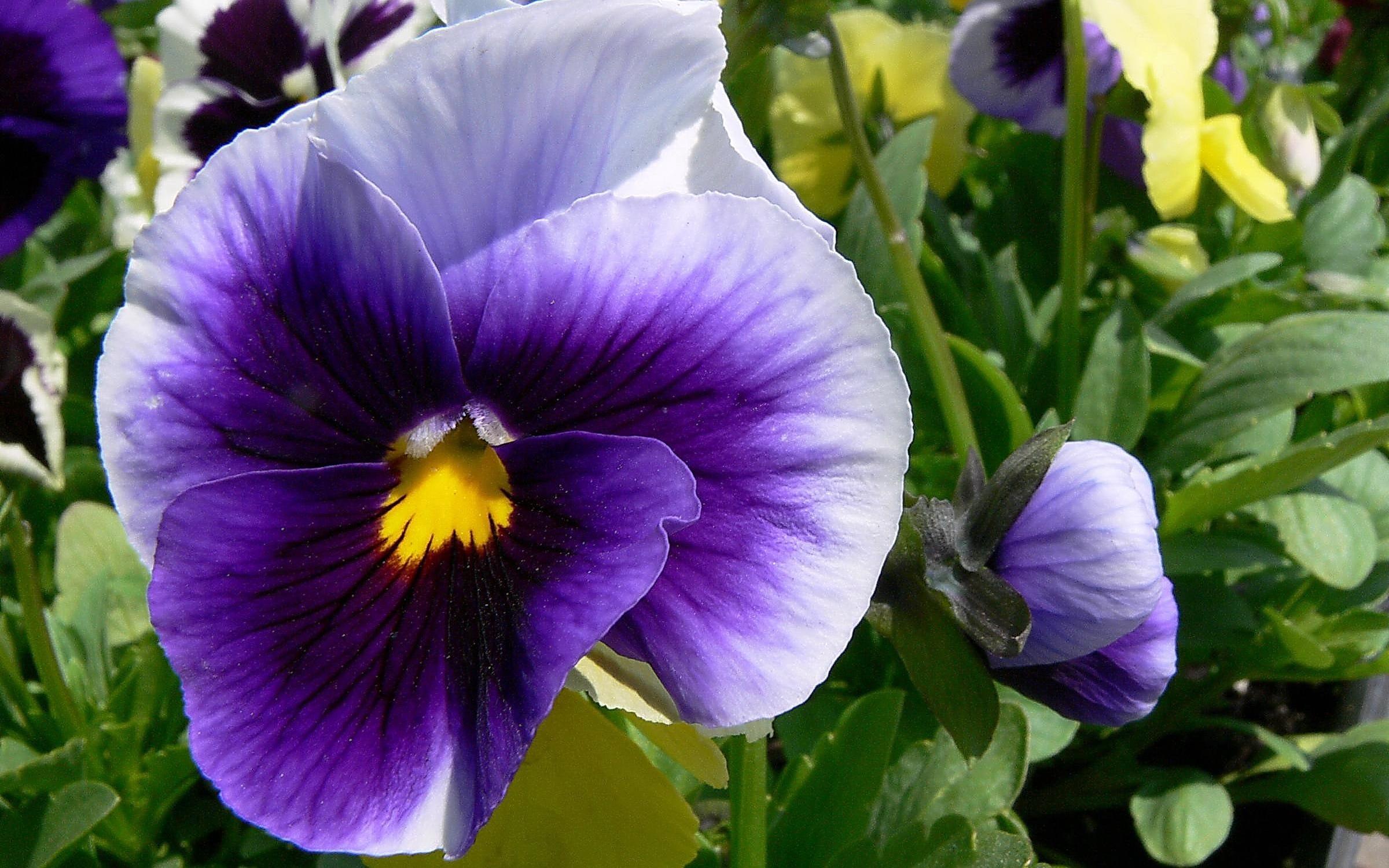 Цветы Анютины глазки (Виола) Обои ...: fon1.ru/load/139-1-0-33673