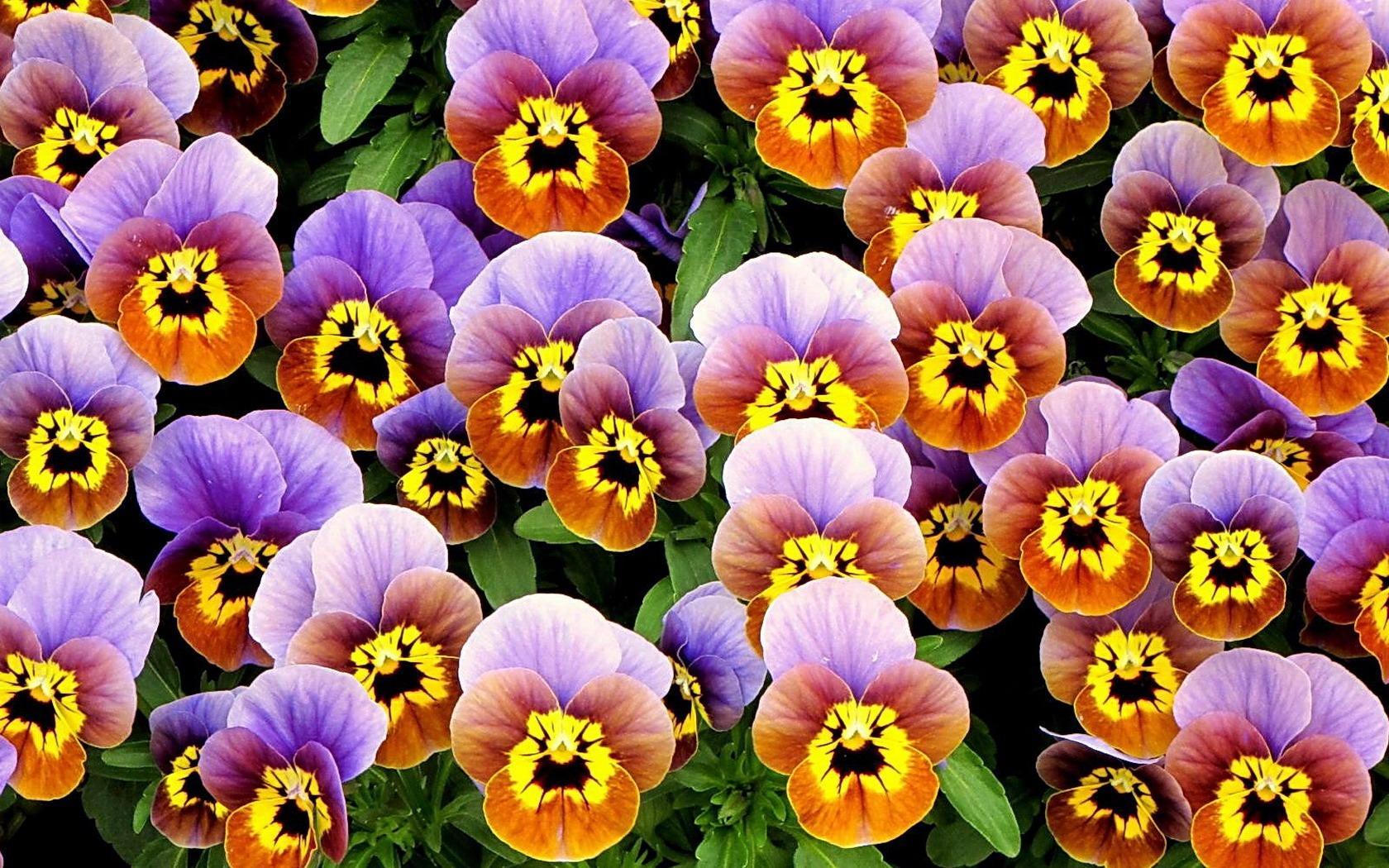 Как выглядит цветок анютины глазки с