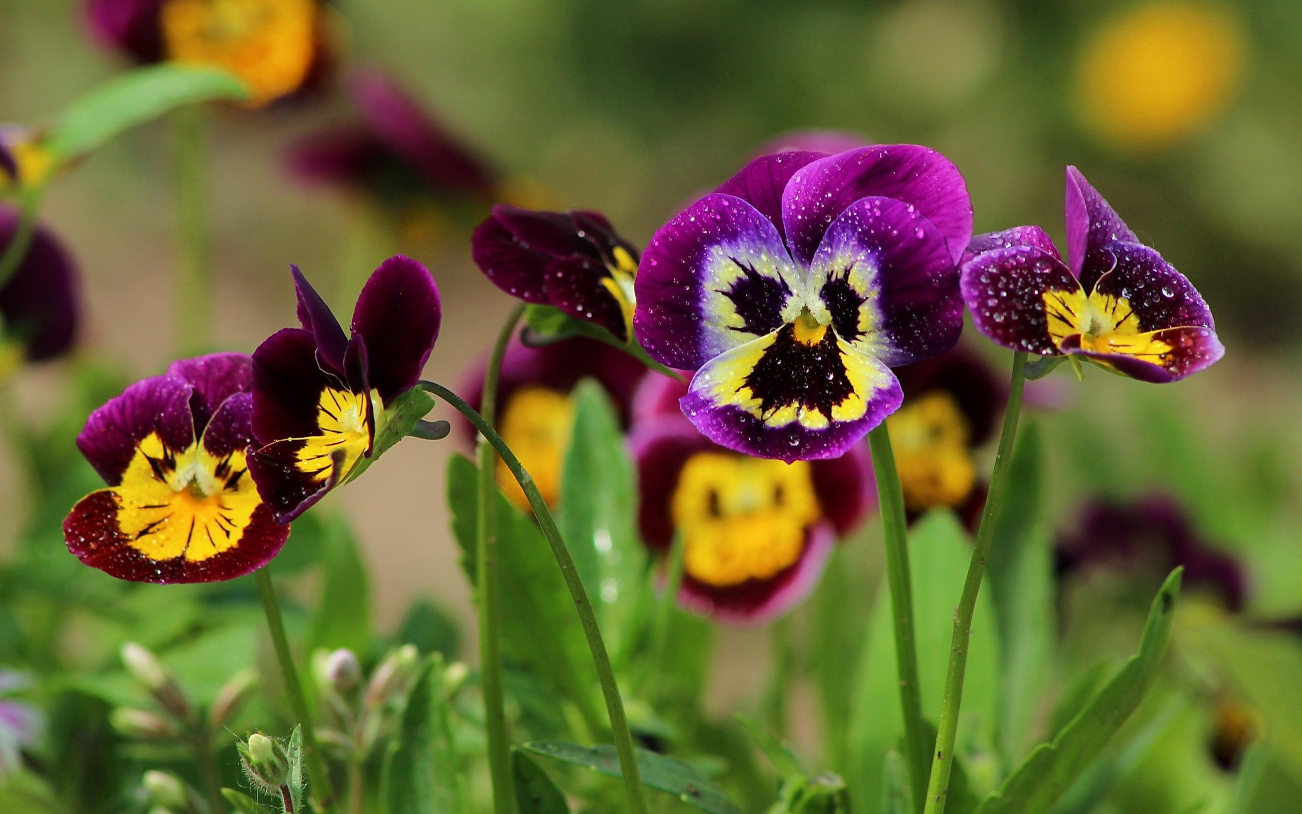 Цветы анютины глазки виола обои