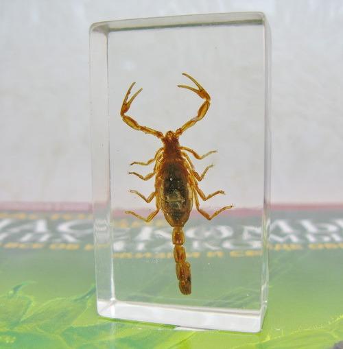 Насекомые №1 - Маньчжурский золотой скорпион (Mesobuthus martensi)