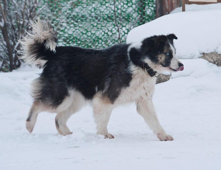 Ожидаются щенки от Марги Бай и А-Модуна 2522501