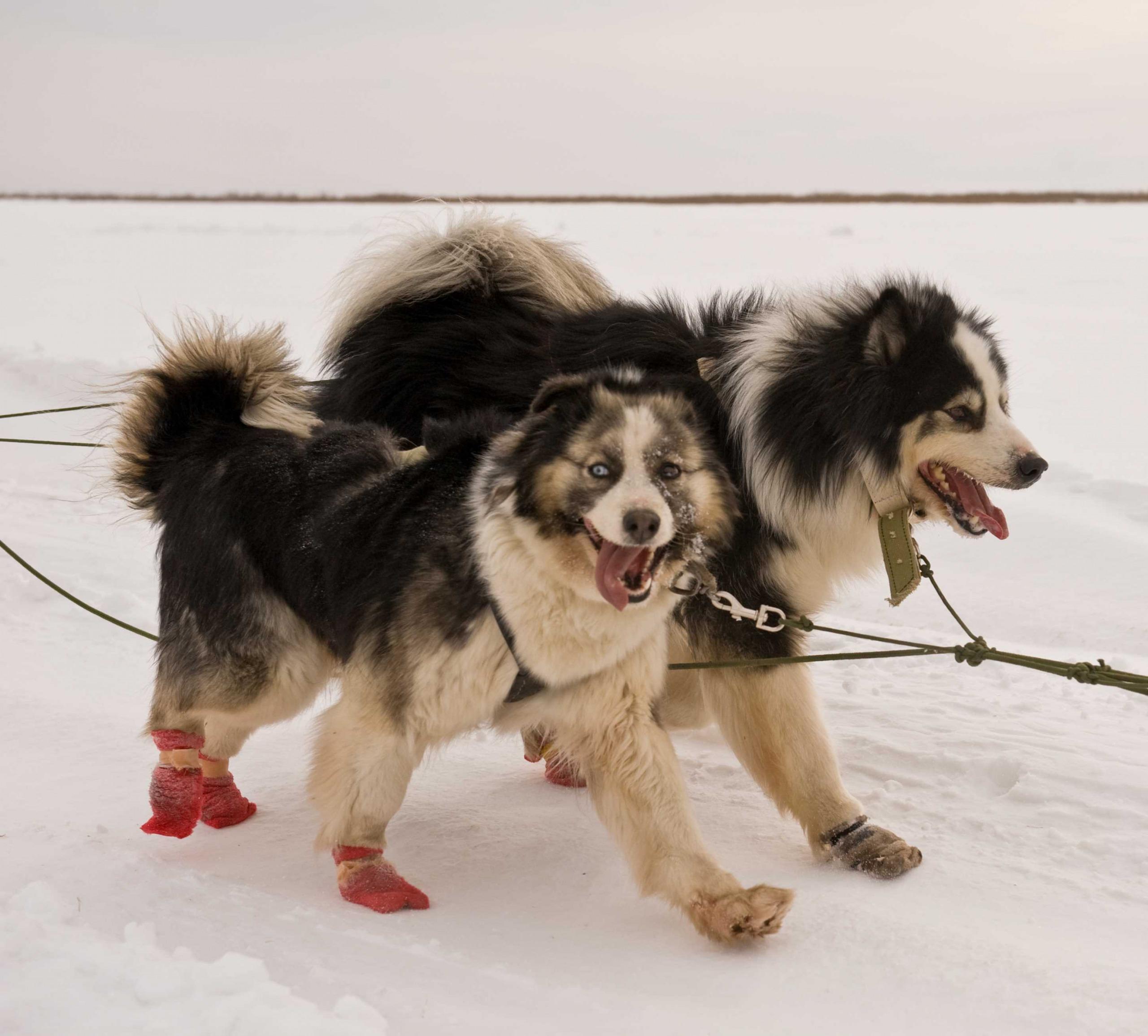 Ожидаются щенки от Марги Бай и А-Модуна 2522511