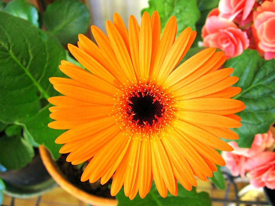 Оранжевый цветок похожий на ромашку