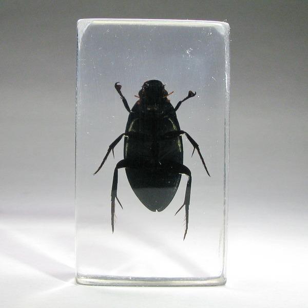 Насекомые №13 - Водолюб черный (Hydrous Piceus)