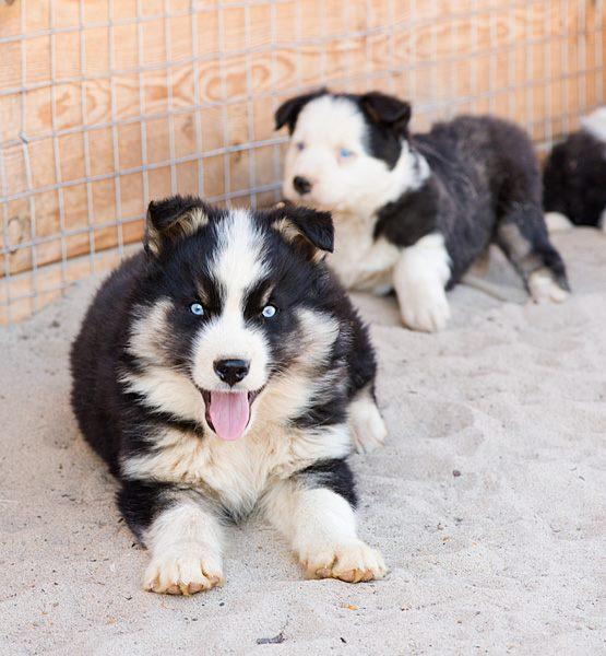 Ожидаются щенки от Марги Бай и А-Модуна 2806596