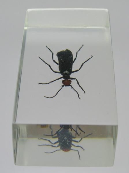 Насекомые №28 Эпикаута (Epicauta rufidorsum) фото, обсуждение