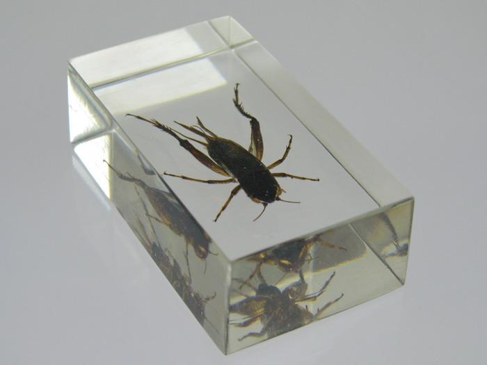Насекомые №2 Азиатский Сверчок (Gryllidae) Фото