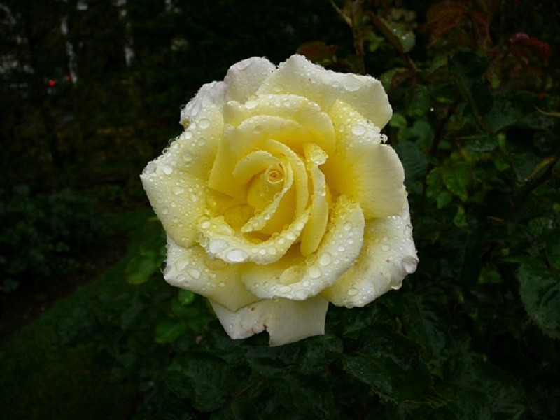 сразу после дождя, и розы