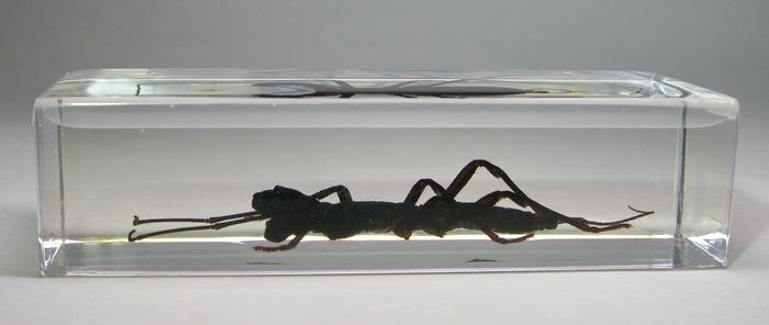 Насекомые №28 - Телифон хвостатый (Telyphonus caudatus)
