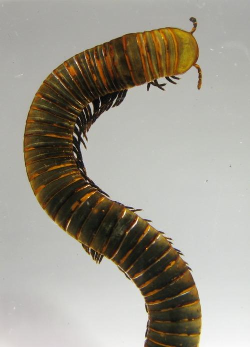 Насекомые №33 - Кивсяк (Julus sp.)