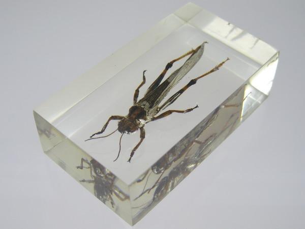 Насекомые №6 Перелетная саранча (Locusta migratoria) фото, обсуждение