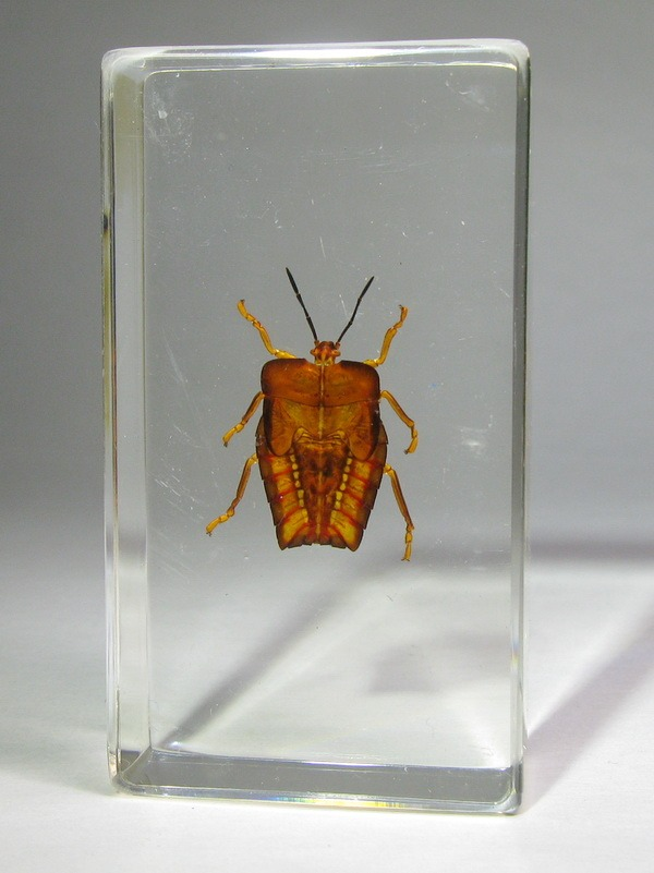 Насекомые №35 - Красный клоп Личи (личинка)(Tesseratoma papillosa)