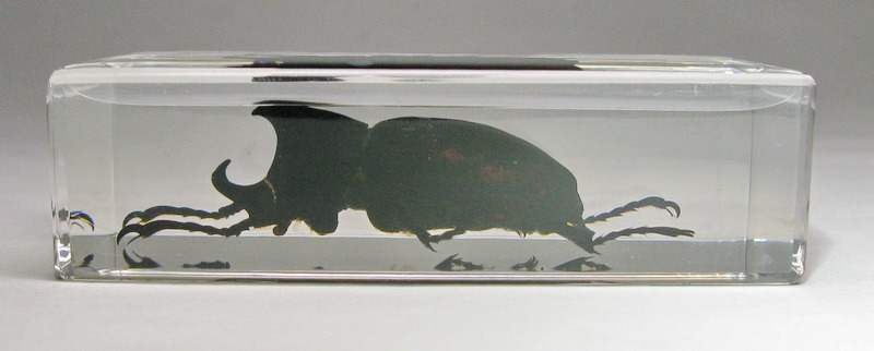 Насекомые №38 - Жук-носорог (Xylotrupes sp.)